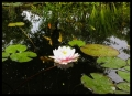 Pinkney water-lily
